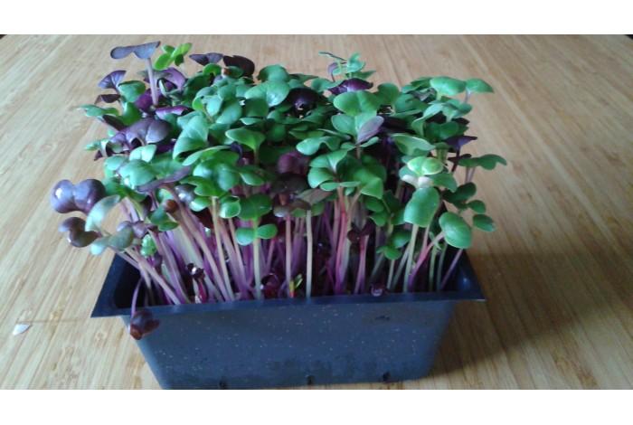 Micropousses trio de radis daikon sur terreau en barquette