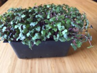 Red cabbage microgreens on soil in trays