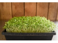 Broccoli microgreens on a tray restaurant size