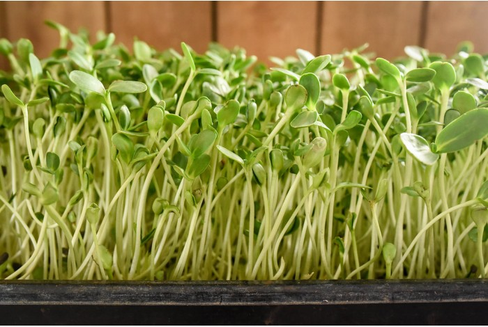 Sunflower organic shoots, tray