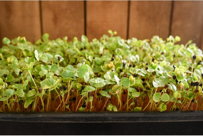 Buckwheat organic shoots, tray