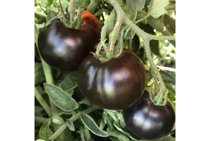 Tomate Indigo Apple Pourpre  bio